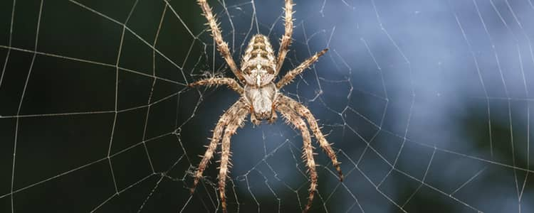 Spider Control Gungahlin